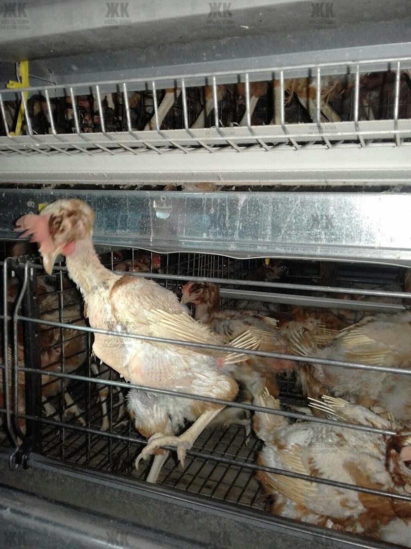 картинка куры на птицефабрике татьяна