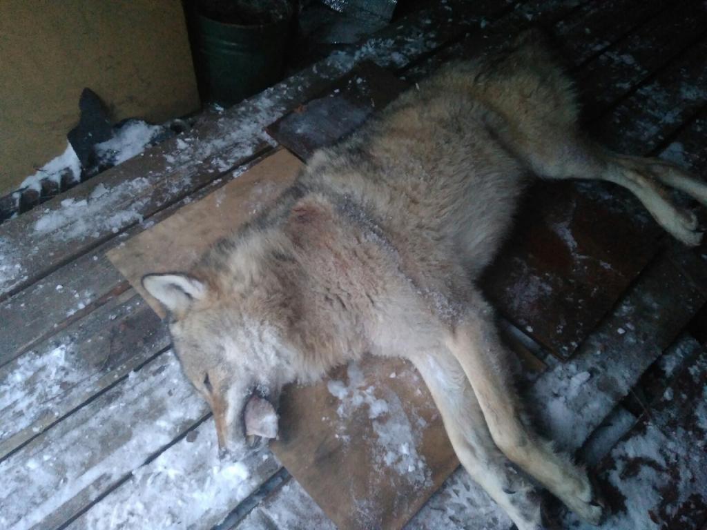 гостиной волки в деревне фото здесь