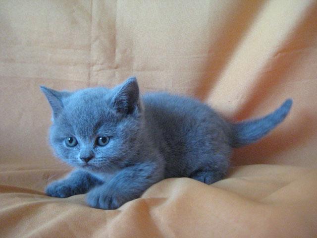 британских котят и кошек