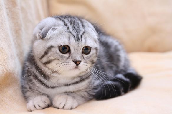 Купить котов шотландцев вислоухих