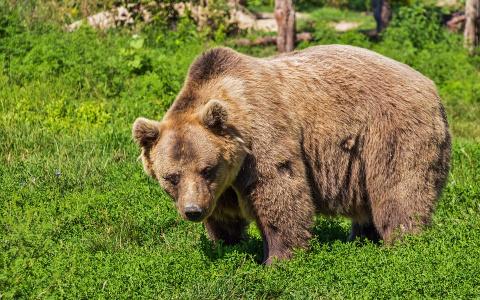 В коми поселок, где недавно видели медведицу с потомством, пришел взрослый медведь