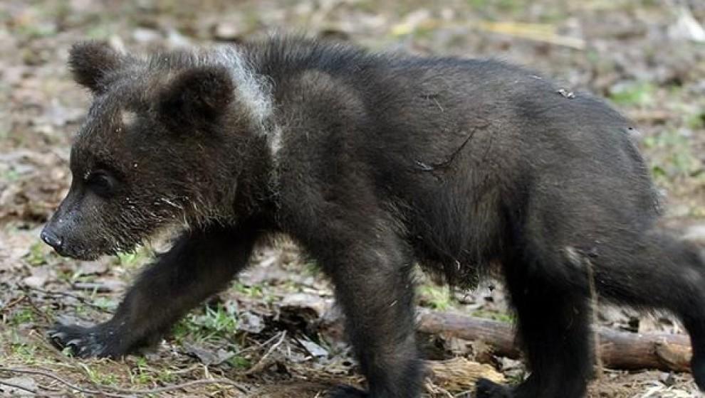 Найденного ухтинского медвежонка вернут в леса Коми
