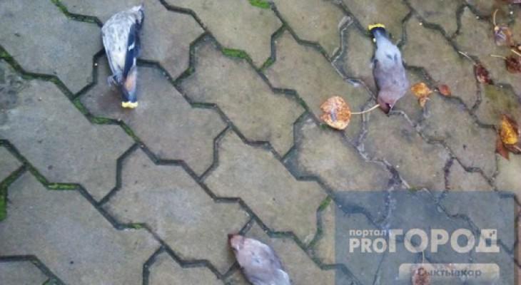 Сыктывкарцы о массовом самоубийстве птиц: «Это апокалиптический знак»