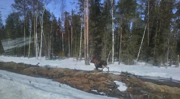 Житель Коми вмешался в схватку медведя и беременной лосихи (фото)
