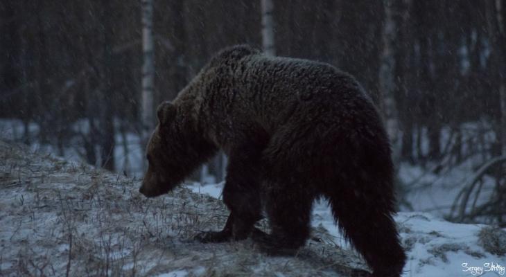 С риском для жизни: житель Коми устроил фотоохоту на медведя (фото, видео)