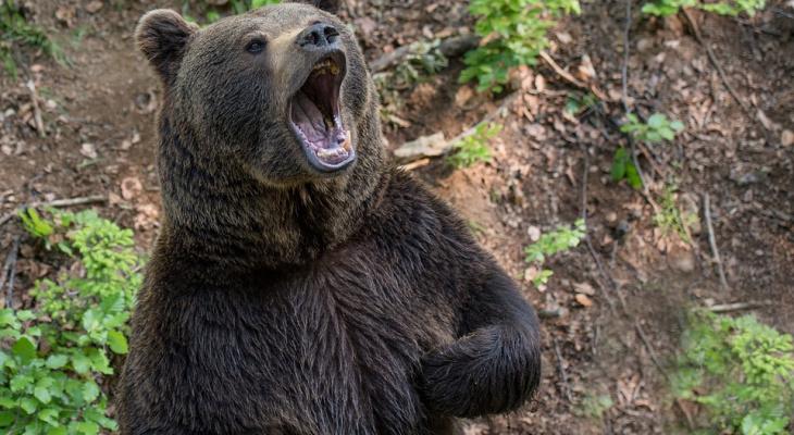 В Коми медведь разодрал мужчине лицо