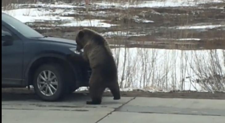 Медведи держат в страхе целый город в Коми (фото, видео)