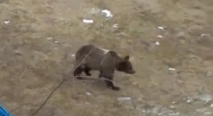 В Коми медведь разгуливал по детской площадке (видео)