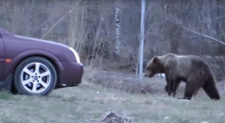 В Коми люди ездят на окраину города, чтобы покормить медведей и сделать с ними фото (видео)