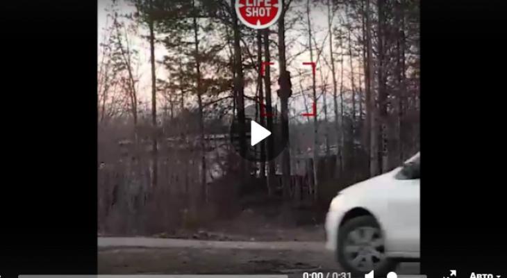 В Коми полицейские загнали медведя на дерево (видео)