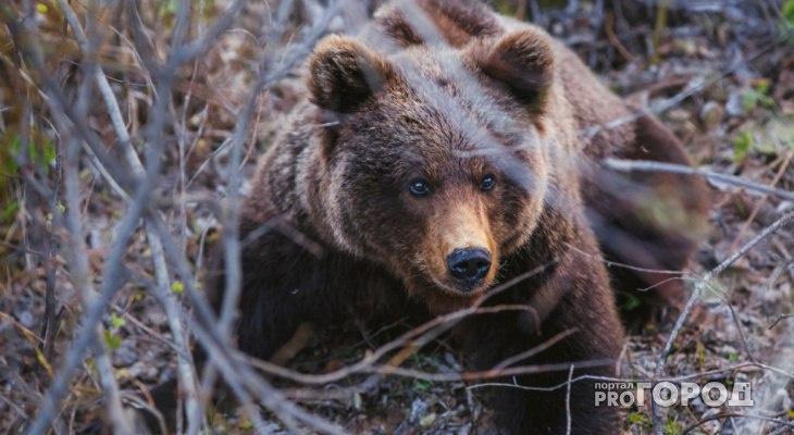В Коми начнут уничтожать медведей, которые выходят к людям