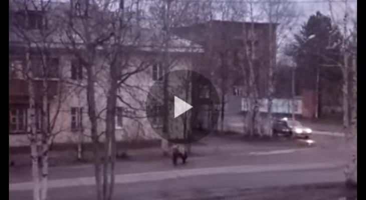 В Коми шесть нарядов полиции гонялись за медведем по улицам города (видео)