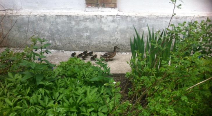 По Сыктывкару гуляла утка с выводком птенцов (фото)