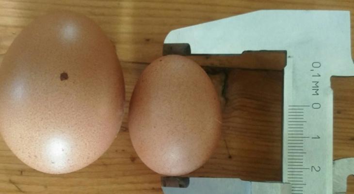 Под Сыктывкаром курица снесла яйцо-крошку (фото)