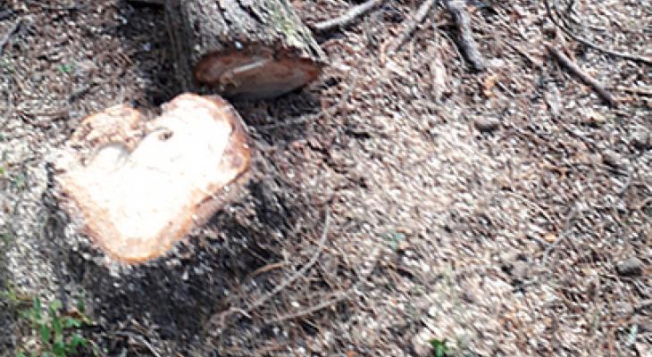 Под Сыктывкаром незаконно вырубили десятки деревьев (фото)