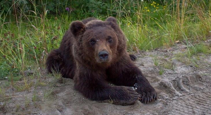 Убийство медвежонка на трассе под Усинском прокомментировали в правительстве Коми