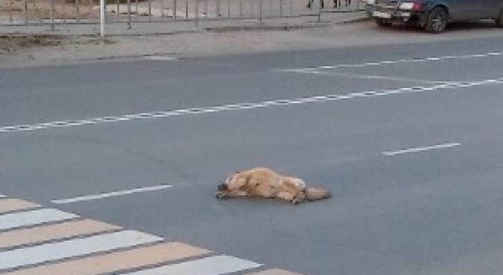 Сыктывкарцы о водителе, который сбил собаку: «Таких надо штрафовать»