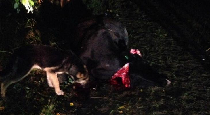 На трассе в Коми на пути у машин оказалось стадо коров: одна погибла, другая покалечена