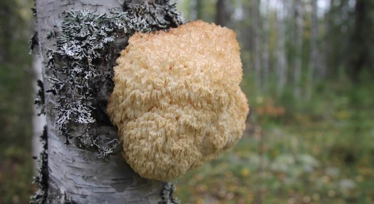 Жительница Сыктывкара наткнулась в лесу на редкий гриб, который нельзя собирать