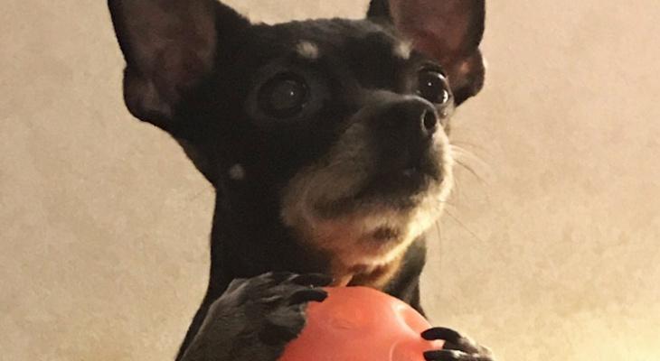 В Сыктывкаре агрессивная собака растерзала той-терьера на глазах у хозяйки