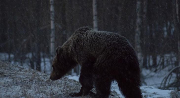 Любители покормить медведей в Коми отправятся убирать за свиньями
