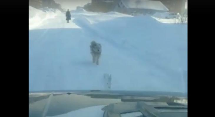 Житель Коми опоздал на работу из-за зайца, за которым гналась собака (видео)