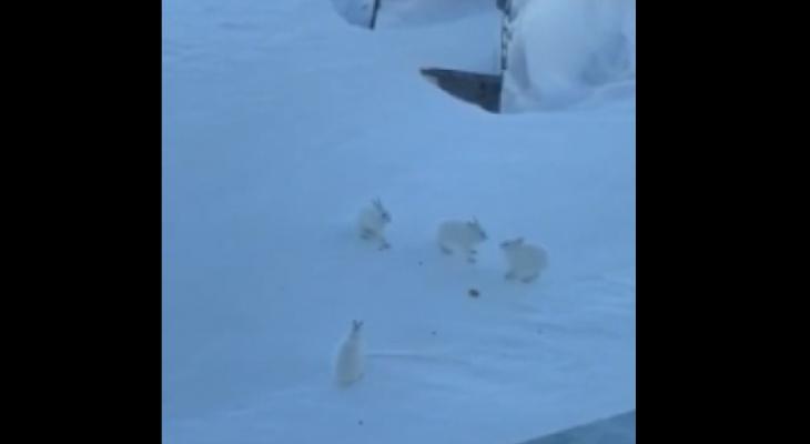 В Коми сняли на видео зайцев, которые устроили драку за печенье
