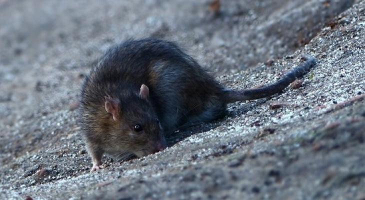 Сыктывкарка: «В детском саду огромные крысы ползают в шкафах детей»