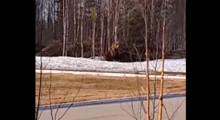 В одном из городов Коми объявился медведь (видео)