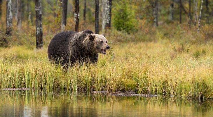 В Коми убьют медведей, которые выходят в города