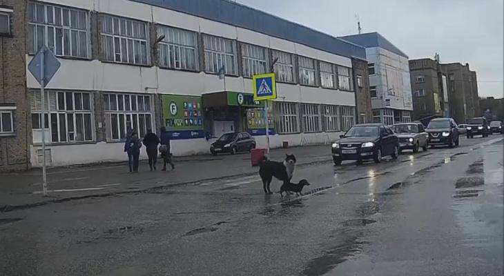 «Учебный курс для пешеходов»: в Коми две собаки образцово перешли дорогу (видео)