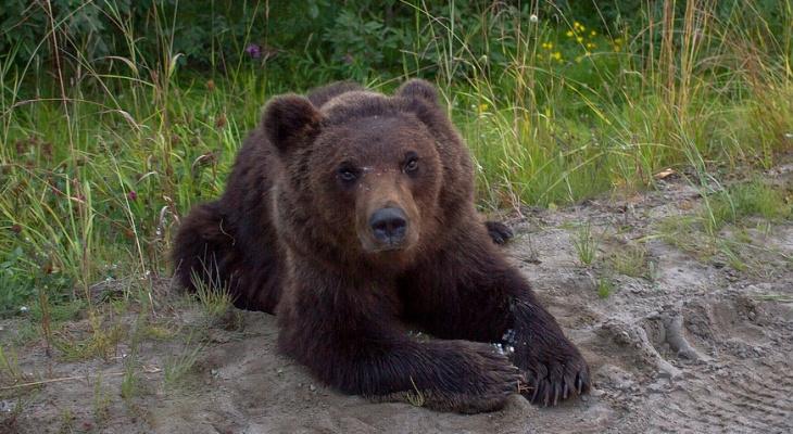 В Коми убьют пятерых медведей