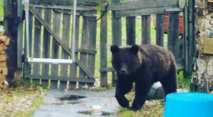 В Коми собака прогнала медведя, который ворвался на дачный участок