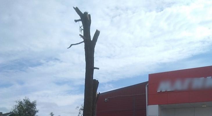 «Беспредел!»: в Коми изуродовали многовековое дерево у старинной могилы
