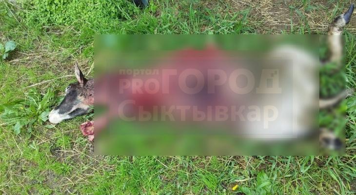 Медведь, который хозяйничает в коми поселке разорвал овцу (фото 16+)