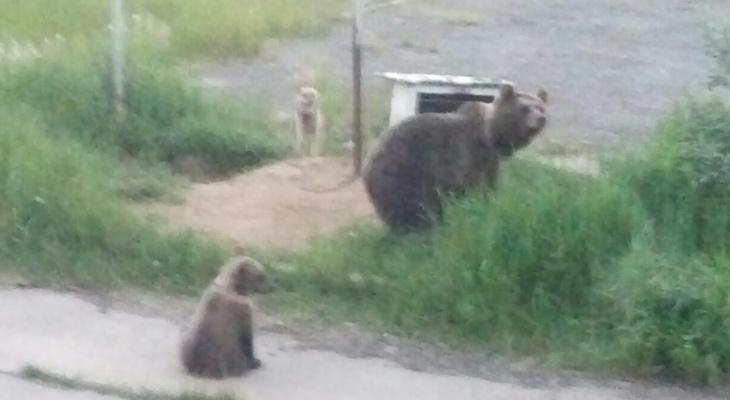 Выяснилась судьба собаки, которая осталась один на один с огромным медведем в Коми