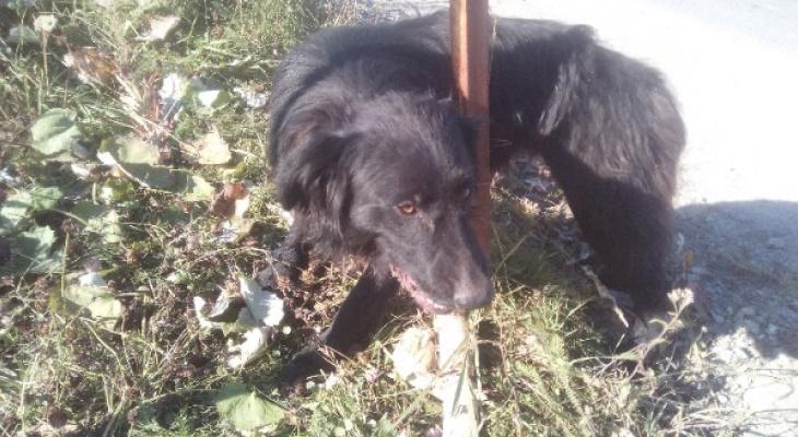 В Коми неизвестные проволокой примотали к столбу собаку (фото)