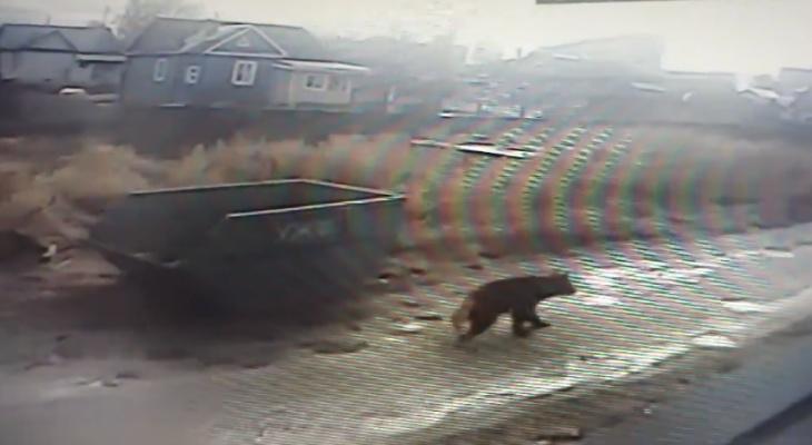 По улицам Сыктывкара пронесся медведь: люди в панике прятались по домам (видео)