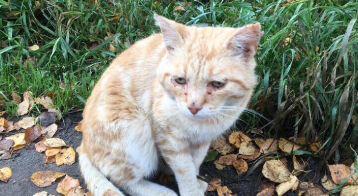 В Сыктывкаре живодеры расстреляли кота: питомца спасла женщина