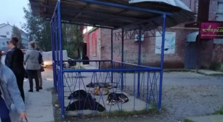 В Коми свора агрессивных собак захватила автобусную остановку