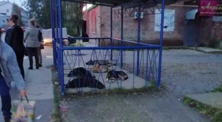 Жители Коми о своре, которая захватила автобусную остановку: «Где же волки, когда они нужны?»