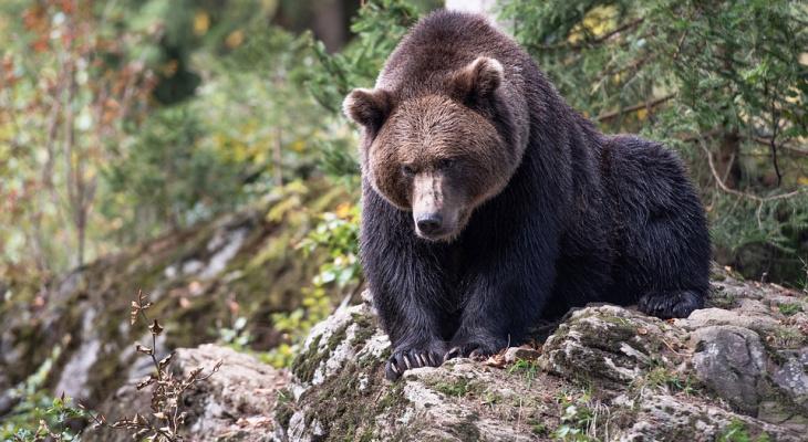В поселке Коми медведь утащил собаку и разорвал ее пополам (фото 16+)