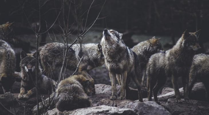 Ночью в Сыктывкаре волки жестоко растерзали собаку (фото 16+)