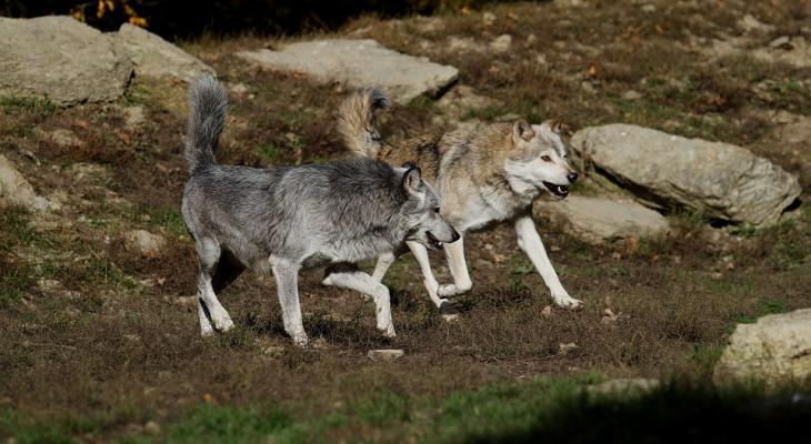 Жители деревни в Коми просят власти спасти их от волков автобусом