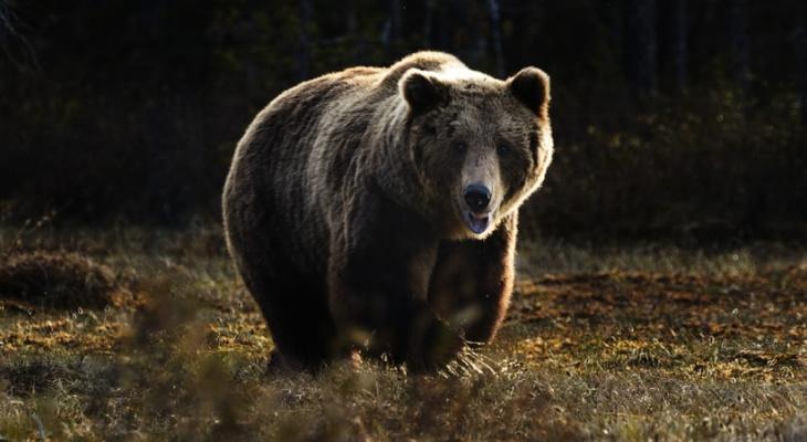 Медведь бегал около детского сада в Сыктывкаре: что с ним будут делать