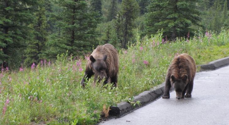 Медведи, которые держат в страхе жителей Коми, скоро исчезнут
