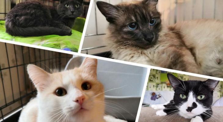 Брутальный Ермак, утонченная Лира и ласковый Изюмчик: четыре котика ищут хозяев в Сыктывкаре