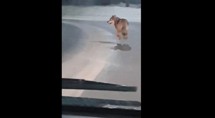 Огромного волка, который рыщет по Сыктывкару, сняли на видео