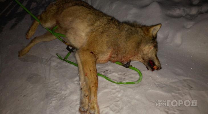 Житель Коми выследил волчицу, которая пришла в его село (фото)