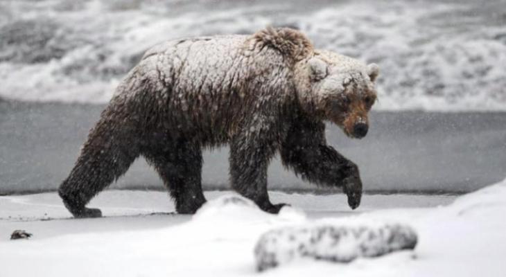 В Ухте застрелят опасного медведя-шатуна